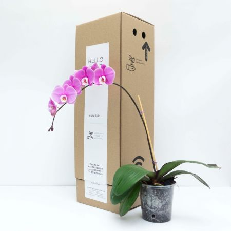 "24"" Assorted Orchid Phalaenopsis"