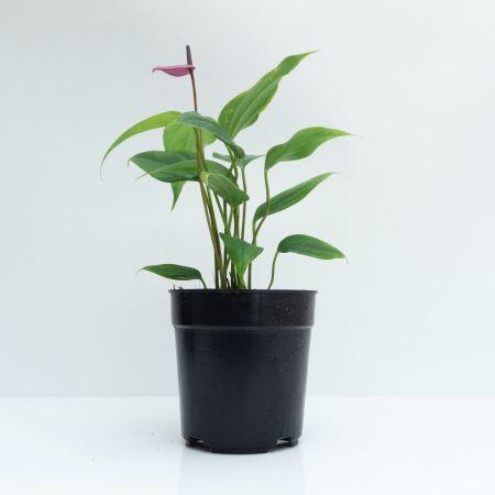 """18"""" Anthurium Purple – Medium"""