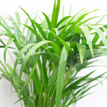 "32"" Areca Palms"