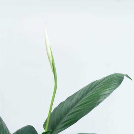 "22"" Spathyphyllum Sensation"
