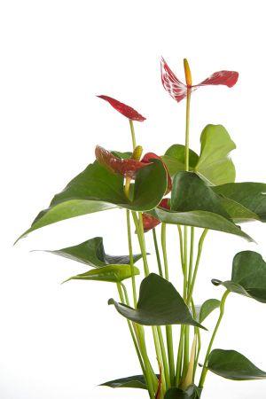 """18"""" Anthurium Red"""