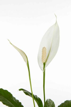 "18"" Spathiphyllum Small Leaf"