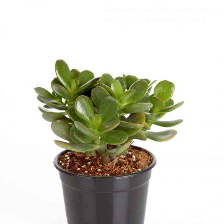 """8"""" Succulent Crassula Ovata (Jade Plant)"""