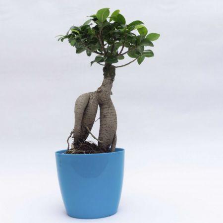 "13"" Ficus Bonsai"