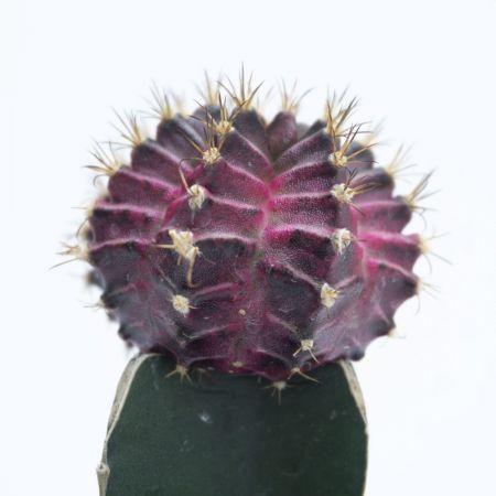 "6"" Moon Cactus Dark Burgundy"