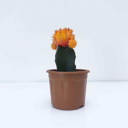 """6"""" Moon Cactus – Grafted Orange"""