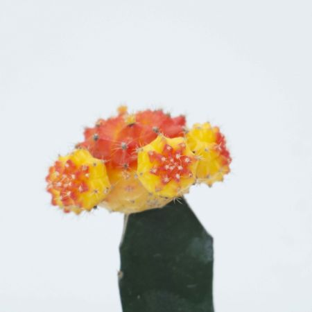 "6"" Moon Cactus – Grafted Multicolor"