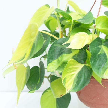10″ Philodendron Brazil – Hanging Basket